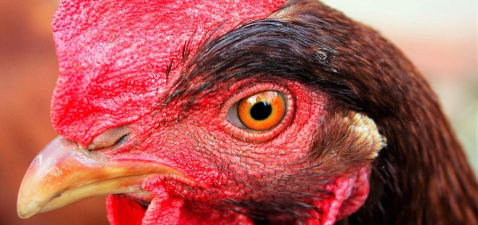 Œil de poulet